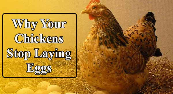 why chickens stop laying eggs