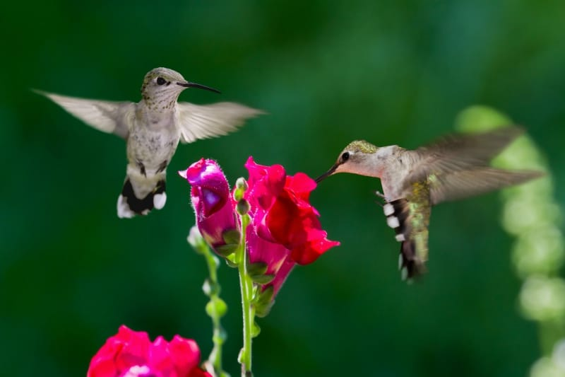 homemade hummingbird flower nectar